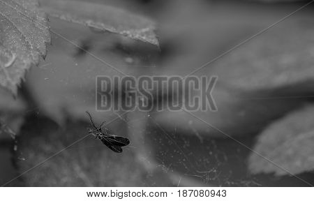 Black and white closeup of a small flying creature caught in a spider web with a soft blurred background