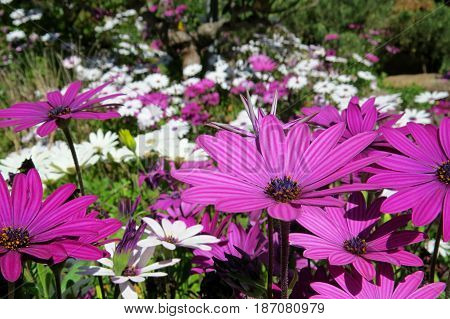 Pink purple white Gazania flowers mass blooming in a garden bad