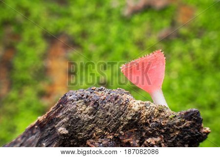Close up Cookeina on fallen branch in tropical forest in Saraburi province Thailand
