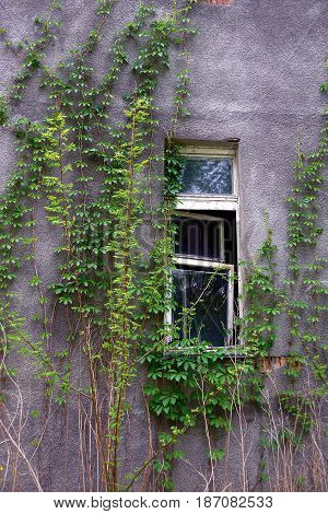 The old window on a gray wall overgrown with plants