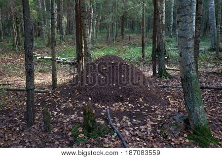 Large anthill in the pine tree forest.