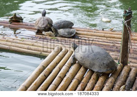 Many turtles are floating on floats and natural