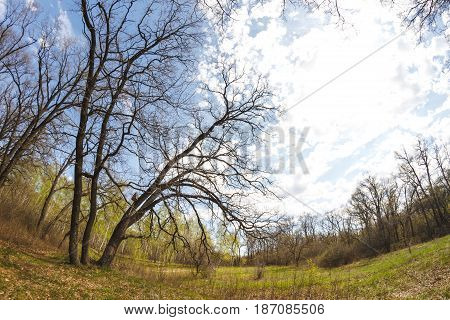 Trees in the forest. Looking up. Blue sky with clouds