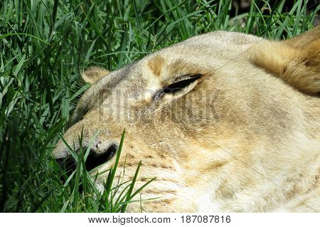 Close-up of a lioness big cat face head asleep in the grass