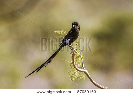 Magpie shrike in Kruger national park, South Africa ; Specie Urolestes melanoleucus family of Laniidae