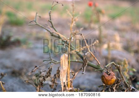 bunch of rotten cherry tomatoes on farm at evening