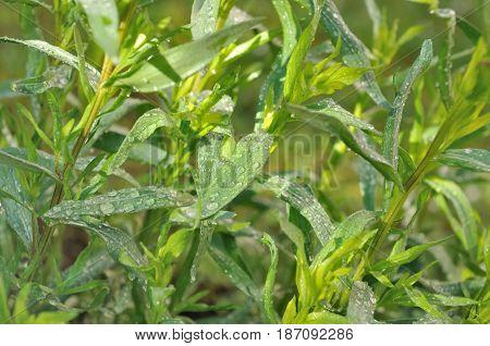 dew on leaf of tarragon in garden