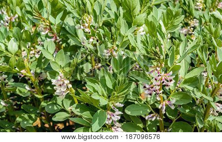 Closeup of multicolored blossoming organically grown broad bean or Vicia faba plants.