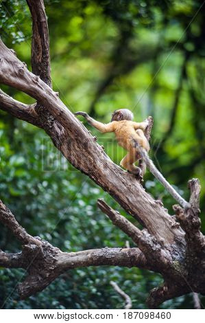 Golden fure baby dusky leaf monkey Spectacled Langur in Thailand