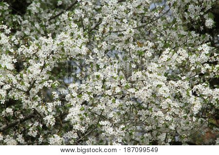 white plum blossom in the spring time