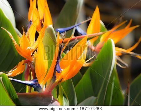 Beautiful strelizia, orange strelitzia flower, detail bunch of flowers