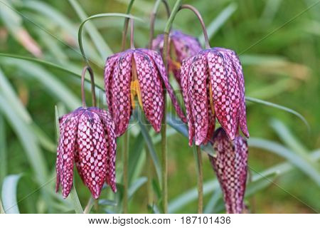 Close up detail of pink fritillary flowers