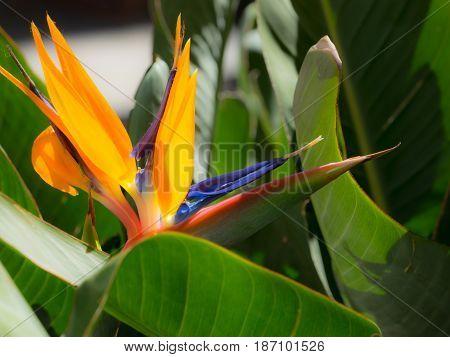 Beautiful strelizia, strelitzia flower, bunch of flowers, detail