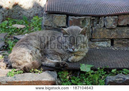 Gray cat sleeps on a brick threshold near the house