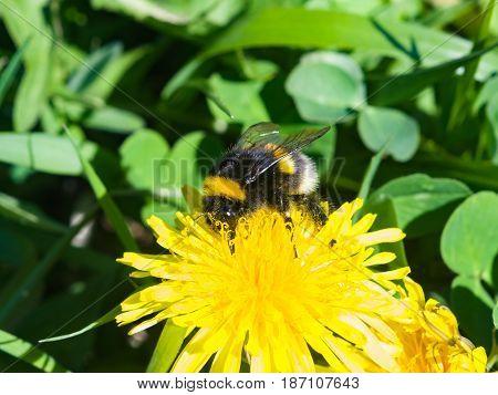 Bumblebee on a dandelion portrait macro with bokeh background selective focus shallow DOF.