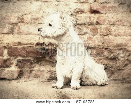 West Highland White Terrier Sitting At The Old Brick Wall. Nice Contrast  Of The Dog Hairs And Conto