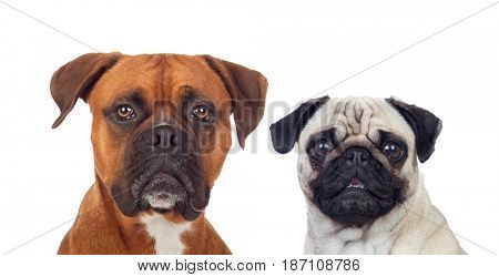 Similar dogs with differentes sizes isolated on a white background