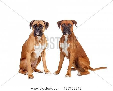 Two beautiful boxer dogs sitting isolated on a white background