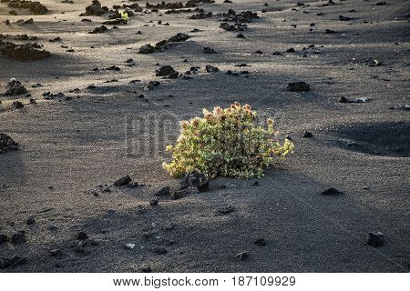 Bush Grows On Volcanic Lapilli Eart In Timanfaya National Park