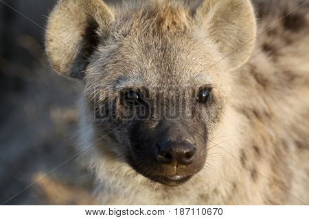 Portrait of a juvenile spotted hyena (Crocuta crocuta). Ol Pejeta Conservancy Kenya.