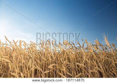 the field of the ripened gold wheat against on a blue sky background. harvest, agriculture, agronomics, food, production, eco concept. empty space for the text.