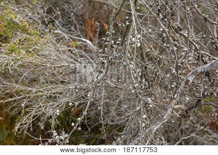 Manuka myrtle showing seed capsules, also called New Zealand teatree, broom tea-tree, tea tree plant during Autumn season, in Tasmania Australia (Leptospermum scoparium)