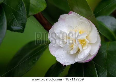 Closeup of wet Camellia tea flower (tsubaki) in white pink petal with yellow stamens after rain in garden, Australia