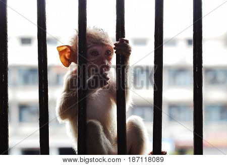 Poor Baby Monkey in the iron cage, prison, jail