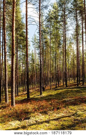 Pine forest with berry bushes in early autumn