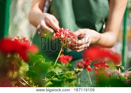 Young beautiful female florist taking care of flowers. Close up photo of hands.