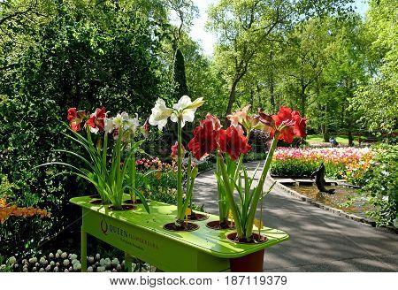 KEUKENHOF HOLLAND - MAY 14 2017: Amaryllis in the Royal Keukenhof Park