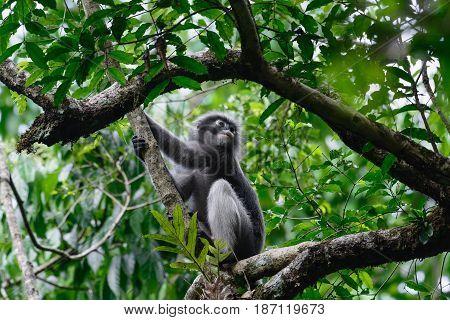 Dusky Leaf Monkey, Dusky Langur, Spectacled Langur.