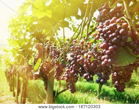 Grapes in vineyards