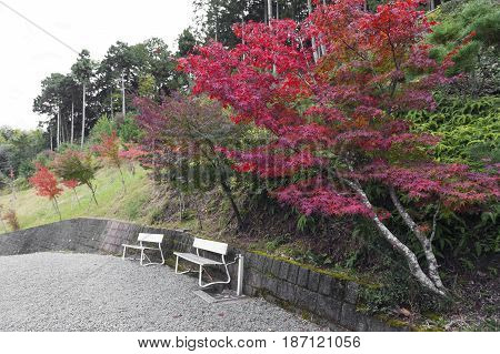 Two Empty White Benches In A Garden With Japanese Maple Tree During Autumn In Kyoto, Japan