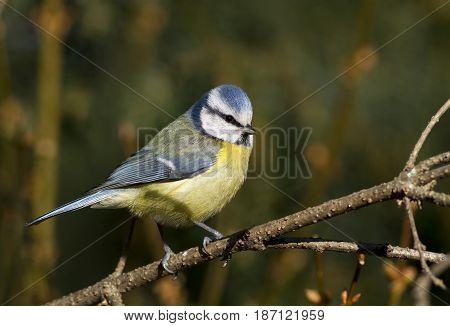 Urban bird - blue tit sitting on a branch