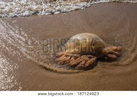 Brown Jellyfish stranded on the beach of Olonne sur mer in France