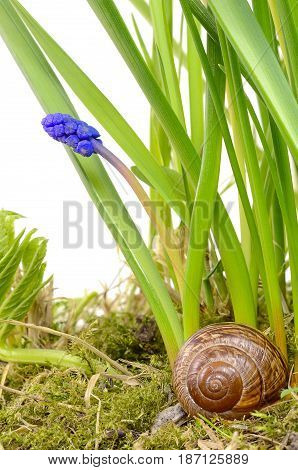 brown shell snail in a Bush of green grass and blue flower Muscari isolated on white background