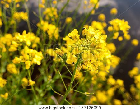 Close Up Macro Shot Of Rapeseed Outside In The Countryside Of Essex Uk In England With No People And