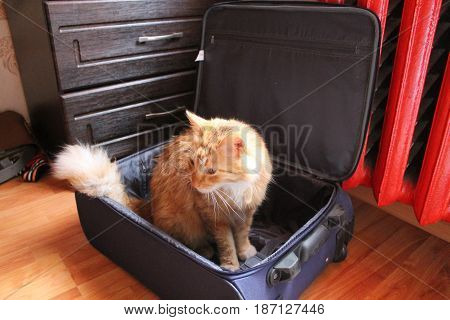 happy orange fluffy cat sit in blue suitcase want to go on sea