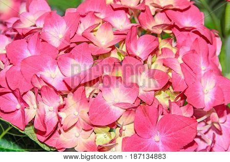 Pink With Yellow Hydrangea Flowers, Hortensia Petals Close Up, Bokeh