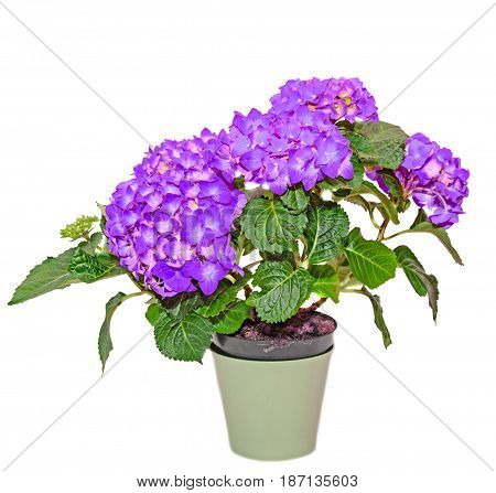 Mauve Hydrangea Flowers In A Green Flowerpot, Hortensia Close Up Isolated