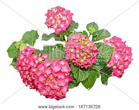 Red And Pink Hydrangea Flowers In A Green Flowerpot, Hortensia Close Up Isolated