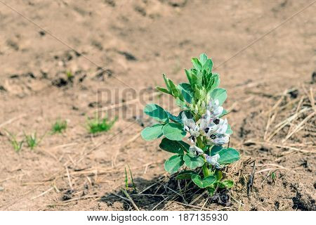 Closeup of a lone multicolored blossoming broad bean or Vicia faba plant next to a bed with many other plants.