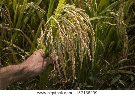 man's hand holds rice ears in a rice field on a farm. Horizontal photo without people for catalog, billboards, banner.
