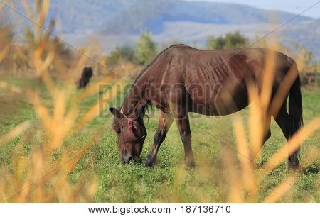 Horse grazing in an autumn field.Selective focus iis on the horse through the out of focus bush.