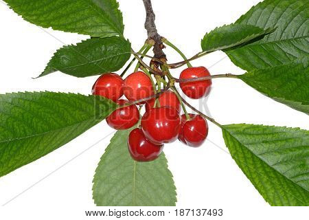 photography with scene of the branch to ripe sweet cherries on white background