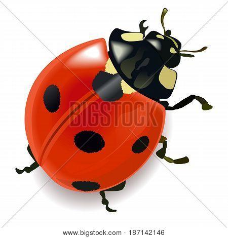 Vector Red Ladybug isolated on white background