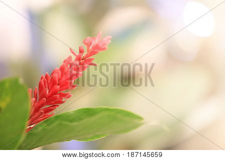sweet dreamy and soft focus blooming of Red ginger with bokeh light