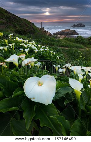 Wild Calla Lilly During Sunset
