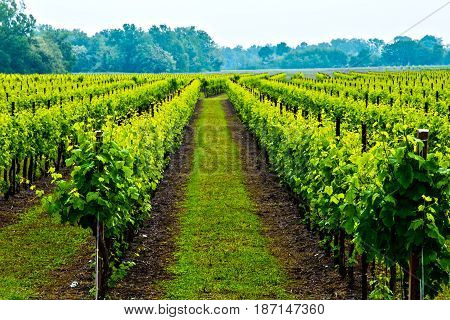Vineyard in Italy, rows and grapes, Prosecco wine.